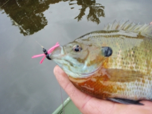 Bluegill on a popper