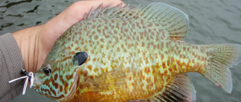 early summer panfish